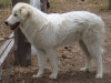 Maremma Sheepdog, 8ths, white