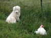 Maremma Sheepdog, 9weeks, white