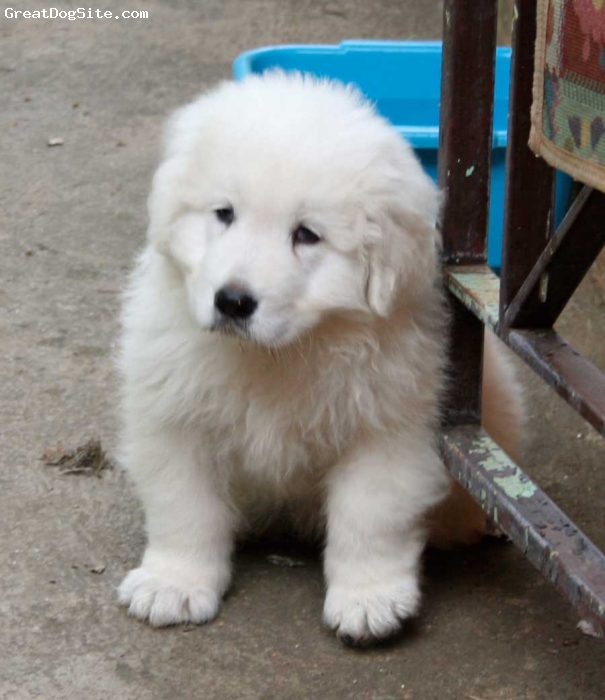 Maremma Sheepdog, 50 days, white, Just arrived at our home, a little overwhelmed.