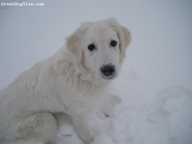 Maremma Sheepdog, 6 months, White with a little tan, Trooper loves the deep snow!!