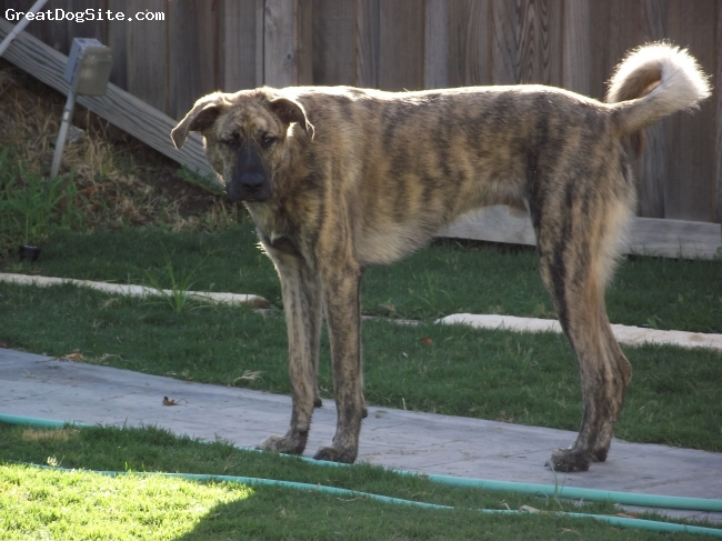 Mastador, 24 mons, Blonde & Gunmetal Gray Tiger Brindle, Typical Lab face with a Mastiff body.  Very friendly, very social, good with kids and other pets.  Intelligent, rarely barks.  Very, very playful.  Affectionate and loyal.
