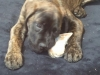Masti-Bull, 7 months, Brindle