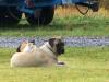 Mastiff, 18 months, Fawn