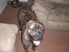 Mastiff, 9-10 MONTHS, Brindle