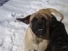Mastiff, 20 months, Fawn w/blk mask
