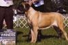 Mastiff, 5, Fawn