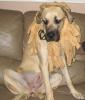 Mastiff, 8 months, fawn
