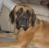 Mastiff, 1, Fawn