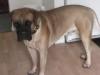 Mastiff, 10 months, Fawn