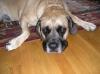 Mastiff, 8, Tan