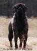 Mastiff, 2 1/2, Fawn Brindle