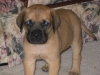 Mastiff, 6 weeks, Yellow