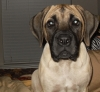Mastiff, 4 1/2 Months, Fawn