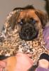 Mastiff, 10 weeks, Apricot