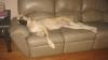 Mastiff, 13 months, fawn