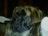 Mastiff, 4 mths, Brindle
