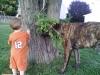 Mastiff, 1 yr, Brindle