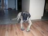 Mastiff, 7 months old, Appricot