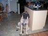 Mastiff, 7 months old, Fawn