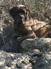 Mastiff, 3yr, brindle