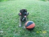 Mastiff, 5 months, brindle