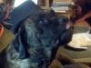 Mastiff, 6.5, brindle