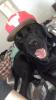 Mastiff, 1 yr 3 months, Black