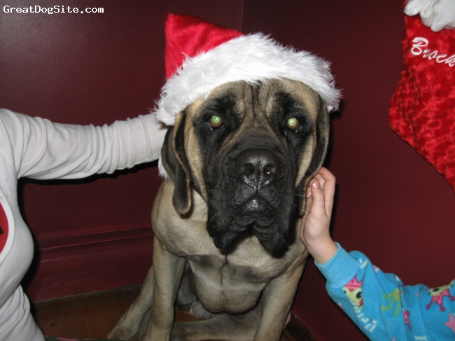 Mastiff, 1 year, Fawn, Bella getting ready for the family Christmas pic.