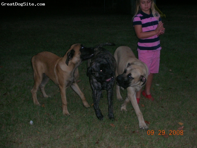 Mastiff, 9 months, Apricot, Brindle, Fawn, My incredible daughter with All three of my other priceless beauties....