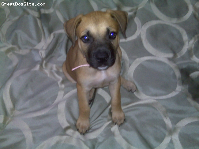 Mastiff, 8 weeks, Fawn, She's so hyper and precious!!  She was the runt of the litter and weighs 13 pounds. She pulls down the blankets and then just let's her body plop on the bed.  I love her so much already!