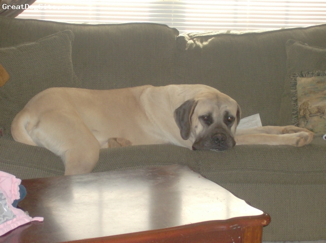 Mastiff, 2, Fawn, This is our Sadie. She is still young but turning into a very nice girl.