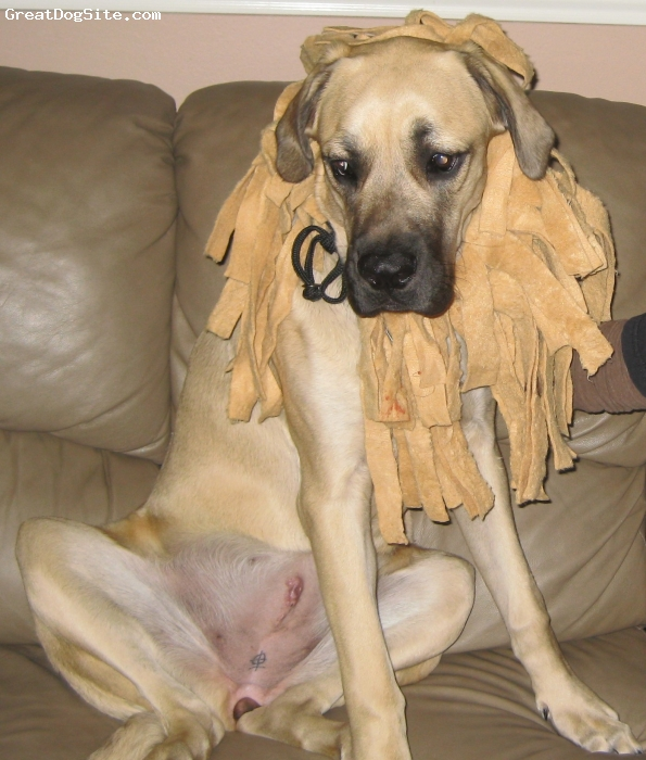 Mastiff, 8 months, fawn, on her first Halloween. please disregard her scar from her spaying surgery