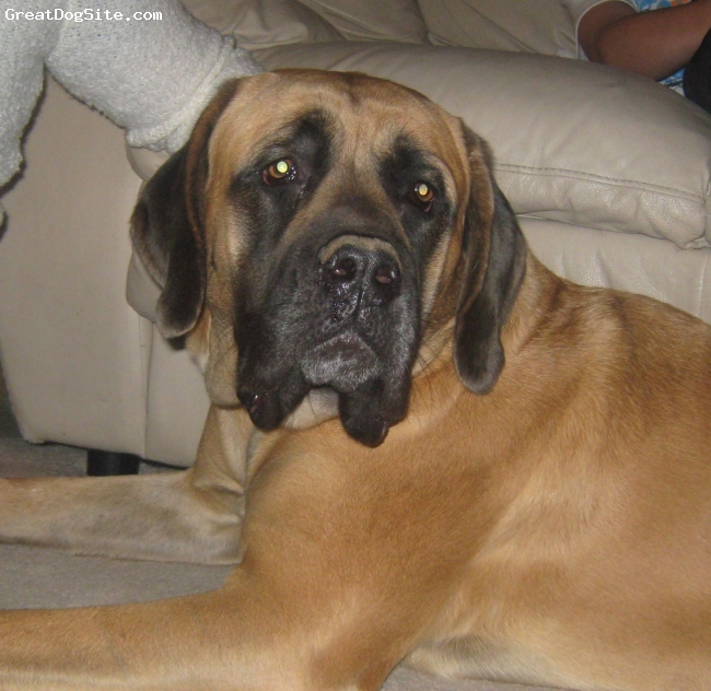 Mastiff, 1, Fawn, Just relaxing!