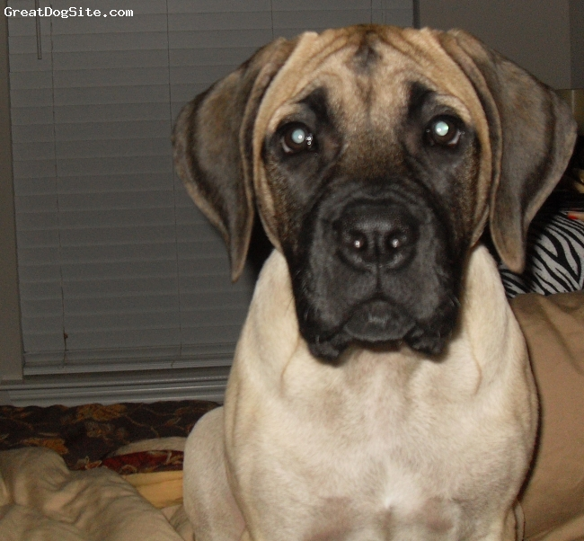 Mastiff, 4 1/2 Months, Fawn, Stella is a huge talker...we call her Stella Doo....because when she talks she sounds like scooby doo....She is growing so fast...and she is a HUGE clown.....We love You...Stella Christina!!