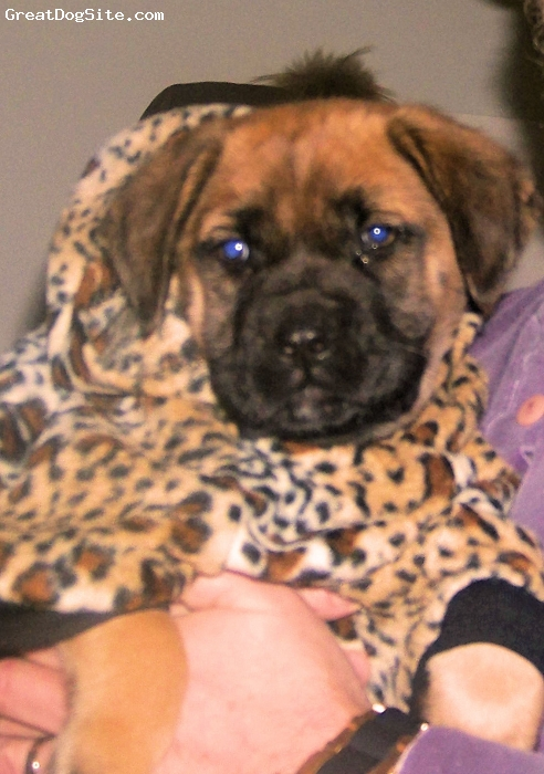 Mastiff, 10 weeks, Apricot, This is my Zoi when she got dressed to go play in the snow. It is rare that we get snow in South Carolina and she needed to have a new sweater. We just love her she is awesome