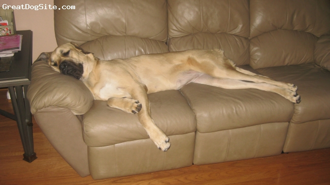 Mastiff, 13 months, fawn, Nala taking a nap on the couch...115 pounds at 13 months