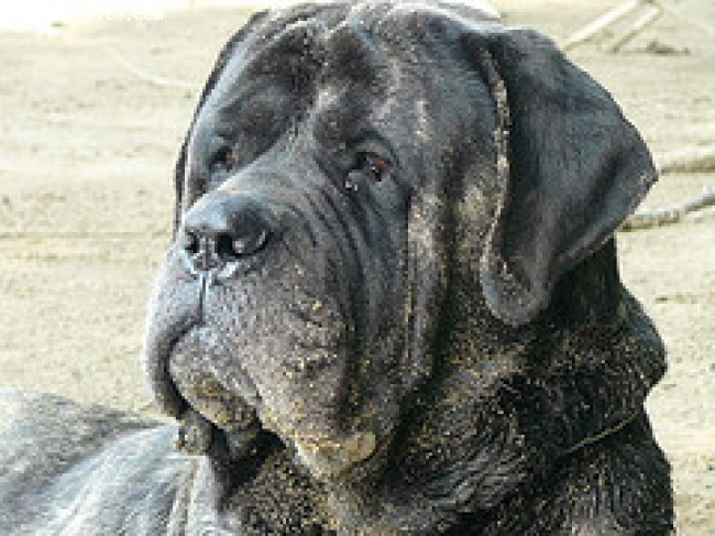 Mastiff, 4, dark brindle, Have You Seen?