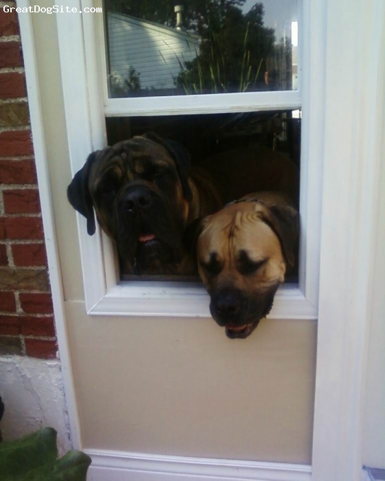 Mastiff, 3, fawn, English Mastiff and Borboel Mastiff