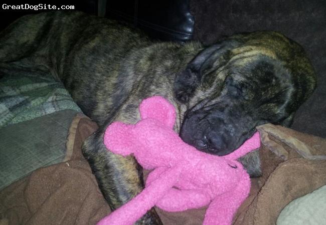 Mastiff, 10 mos, brindle, 1 wk after adoption