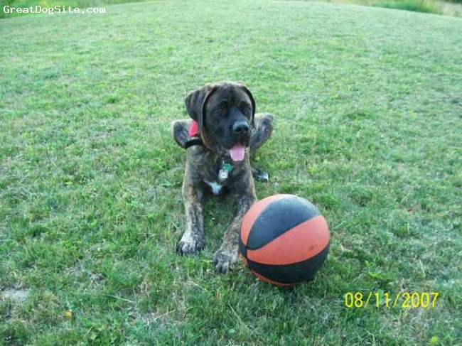 Mastiff, 5 months, brindle, this is goliath not duke and he is also a service dog