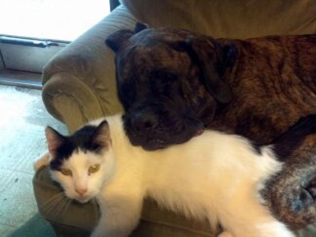 Mastiff, 6.5, brindle, goliath is a mastiff loves every one just  lost his best friend a few weeks ago