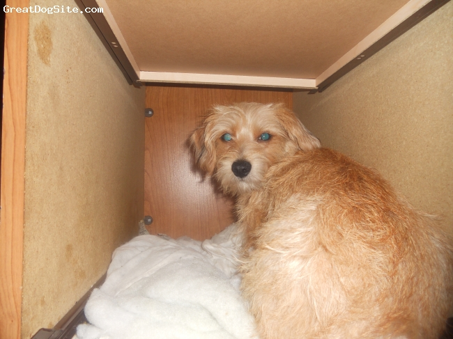 Mauxie, 9 months, light brown, He is in his favorate plase to sleep (under the desk).