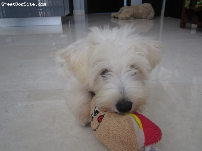 Mauxie, 4 mths, cream, very playful, easy to train, sharp bark