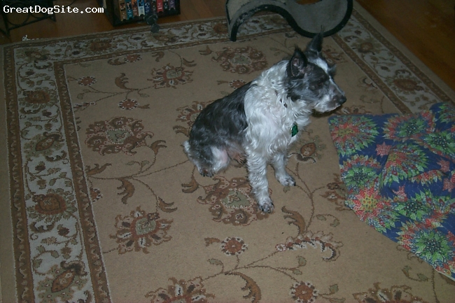 """Mauzer, 3, white, silver, apricot, black, My dog is a Mauzer, he has silky baby like hair ,single coated, and has the coloring of a schnauzer. Spocks' body type is schnauzer and he is extremely intelligent and loving. He is 14"""" tall and weighs 16lbs."""