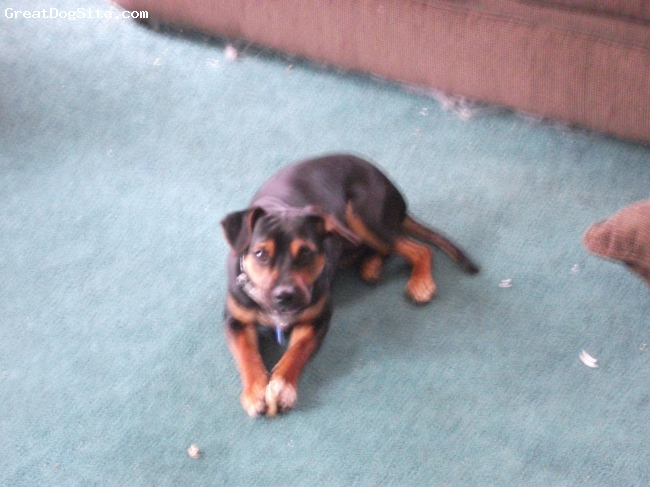 Meagle, 1 yr, black and tan, male