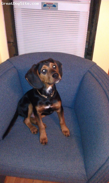 Meagle, 5 months, Black & tan w/some white, Turbo is my 5 month old Meagle. He's my best bud.