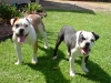 Miniature Australian Bulldog, g 1 year b 6 mths, red,white and brindle and white