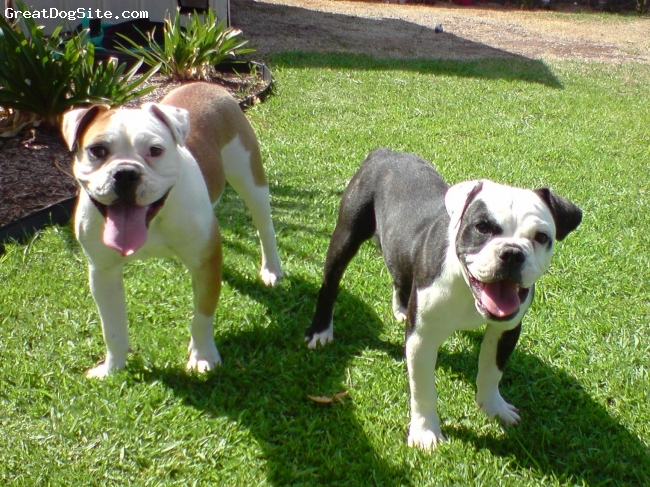 Miniature Australian Bulldog, g 1 year b 6 mths, red,white and brindle and white, this is our two MAb's minnie and tyler age 1 year, and tyler 6 months old