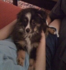 Miniature Australian Shepherd, 3 months, black,tan,white