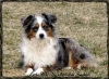Miniature Australian Shepherd, 3, Blue Merle Female